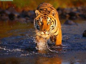 bengal-tigers-